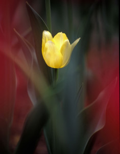 Yellow-Tulip-001-LOW-RES1