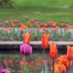 Untermeyer tulips 3