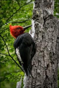 KASP-PAT-MaleMagellanicWoodpecker#1-©4x6