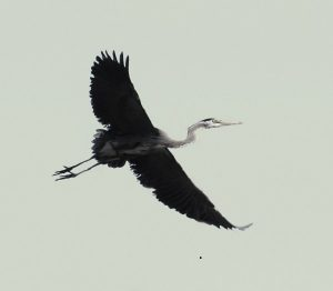 Heron in Flight 01