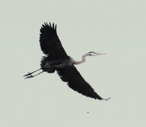 Heron in Flight 01