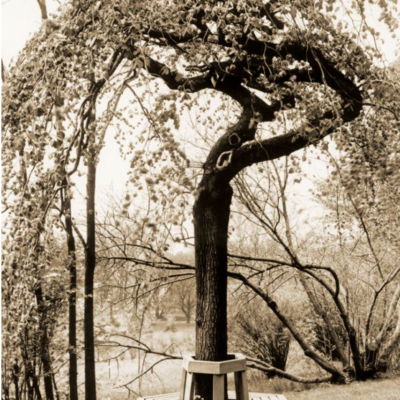 Historic Photograph of a Camperdown elm tree with a bench (photo courtesy of Lyndhurst)